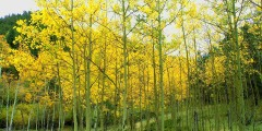 Tree Selection - Aspen Trees in the Fall