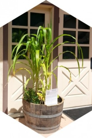 Corn, Beans and Squash growing in a planter