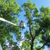 Trimming a tall tree from a bucket truck