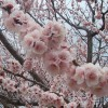 A tree with pink blossoms